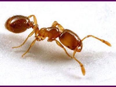 Thief Ants Control Services