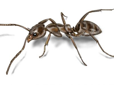 argentine-ant-illustration_568x336