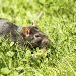 rodent pet rat eating cake outdoor in grass