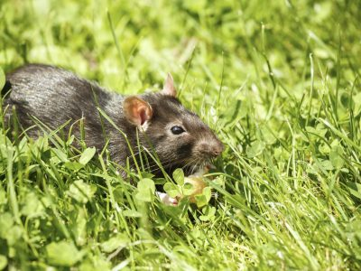 House Mouse Control Services