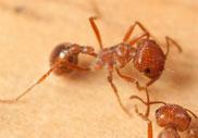 Pavment Ant