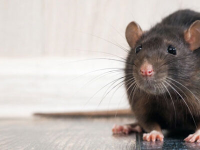 Mouse Problem Abbotsford
